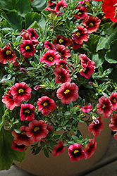 Superbells® Coralberry Punch Calibrachoa (Calibrachoa 'Superbells Coralberry Punch') at Cole's Florist & Garden Centre