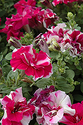 Madness Rose And White Double Petunia (Petunia 'Madness Rose And White Double') at Cole's Florist & Garden Centre