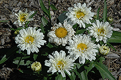 Freak! Shasta Daisy (Leucanthemum x superbum 'Freak!') at Cole's Florist & Garden Centre