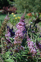 Buzz Violet Butterfly Bush (Buddleia 'Tobudviole') at Cole's Florist & Garden Centre