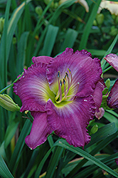 Uncharted Waters Daylily (Hemerocallis 'Uncharted Waters') at Cole's Florist & Garden Centre
