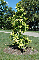 Gold Rush Dawn Redwood (Metasequoia glyptostroboides 'Gold Rush') at Cole's Florist & Garden Centre