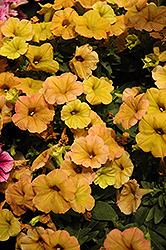 Cascadias Indian Summer Petunia (Petunia 'Cascadias Indian Summer') at Cole's Florist & Garden Centre