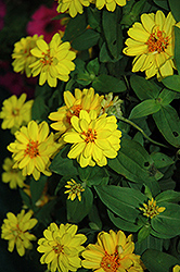 Profusion Double Yellow Zinnia (Zinnia 'Profusion Double Yellow') at Cole's Florist & Garden Centre