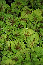 Fire Frost Foamy Bells (Heucherella 'Fire Frost') at Cole's Florist & Garden Centre