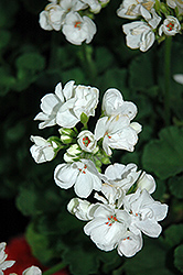 Patriot White Geranium (Pelargonium 'Patriot White') at Cole's Florist & Garden Centre