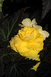 Nonstop® Mocca Yellow Begonia (Begonia 'Nonstop Mocca Yellow') at Cole's Florist & Garden Centre
