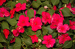 Xtreme Punch Impatiens (Impatiens 'Xtreme Punch') at Cole's Florist & Garden Centre