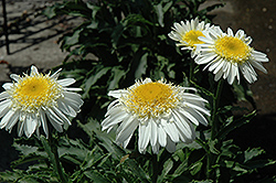 Real Glory Shasta Daisy (Leucanthemum x superbum 'Real Glory') at Cole's Florist & Garden Centre