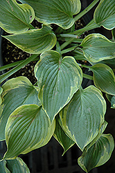 Deja Blue Hosta (Hosta 'Deja Blue') at Cole's Florist & Garden Centre