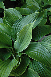 Komodo Dragon Hosta (Hosta 'Komodo Dragon') at Cole's Florist & Garden Centre