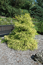 Lemon Thread Falsecypress (Chamaecyparis pisifera 'Lemon Thread') at Cole's Florist & Garden Centre