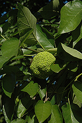 Osage Orange (Maclura pomifera) at Cole's Florist & Garden Centre