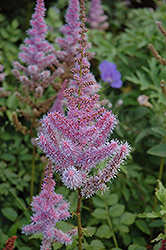 Purple Candles Astilbe (Astilbe chinensis 'Purple Candles') at Cole's Florist & Garden Centre