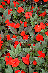 Divine™ Orange Bronze Leaf New Guinea Impatiens (Impatiens hawkeri 'Divine Orange Bronze Leaf') at Cole's Florist & Garden Centre