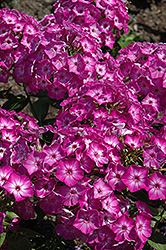 Early Start™ Purple Garden Phlox (Phlox paniculata 'Early Start Purple') at Cole's Florist & Garden Centre