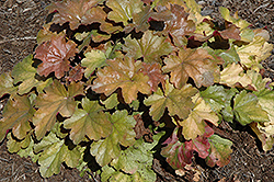 Carnival Coffee Bean Coral Bells (Heuchera 'Coffee Bean') at Cole's Florist & Garden Centre