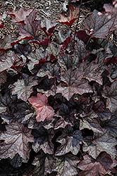 Carnival Plum Crazy Coral Bells (Heuchera 'Plum Crazy') at Cole's Florist & Garden Centre