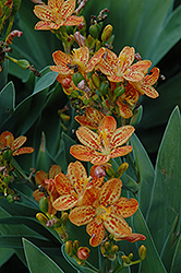 Freckle Face Blackberry Lily (Iris domestica 'Freckle Face') at Cole's Florist & Garden Centre