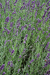 SuperBlue Lavender (Lavandula angustifolia 'SuperBlue') at Cole's Florist & Garden Centre
