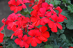 Timeless™ Orange Geranium (Pelargonium 'Timeless Orange') at Cole's Florist & Garden Centre