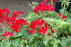 Timeless™ Deep Red Geranium (Pelargonium 'Timeless Deep Red') at Cole's Florist & Garden Centre