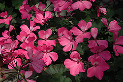 Timeless™ Pink Geranium (Pelargonium 'Timeless Pink') at Cole's Florist & Garden Centre