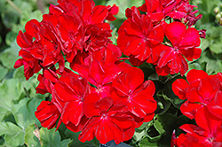 Boldly® Dark Red Geranium (Pelargonium 'Boldly Dark Red') at Cole's Florist & Garden Centre