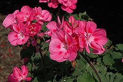 Savannah Pink Geranium (Pelargonium 'Savannah Pink') at Cole's Florist & Garden Centre