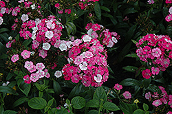 Amazon Rose Magic Pinks (Dianthus 'Amazon Rose Magic') at Cole's Florist & Garden Centre