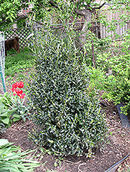 Golden Girl Meserve Holly (Ilex x meserveae 'Mesgolg') at Cole's Florist & Garden Centre