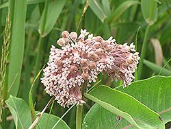 Common Milkweed (Asclepias syriaca) at Cole's Florist & Garden Centre