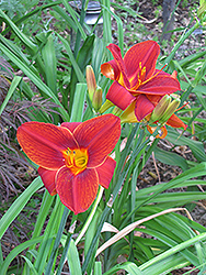 Big Red Daylily (Hemerocallis 'Big Red') at Cole's Florist & Garden Centre