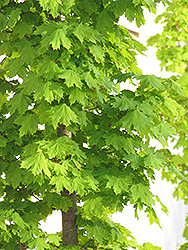 Columnar Norway Maple (Acer platanoides 'Columnare') at Cole's Florist & Garden Centre