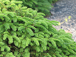 Birds Nest Spruce (Picea abies 'Nidiformis') at Cole's Florist & Garden Centre