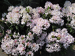White Catawba Rhododendron (Rhododendron catawbiense 'Album') at Cole's Florist & Garden Centre