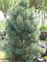Vanderwolf's Pyramid Pine (Pinus flexilis 'Vanderwolf's Pyramid') at Cole's Florist & Garden Centre