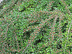 Ground Cotoneaster (Cotoneaster horizontalis) at Cole's Florist & Garden Centre