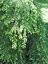 Sargent's Weeping Hemlock (Tsuga canadensis 'Sargentii') at Cole's Florist & Garden Centre
