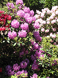 Boursault Rhododendron (Rhododendron catawbiense 'Boursault') at Cole's Florist & Garden Centre