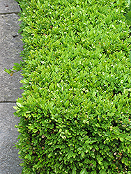 Green Velvet Boxwood (Buxus 'Green Velvet') at Cole's Florist & Garden Centre