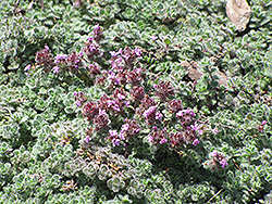 Wooly Thyme (Thymus pseudolanuginosis) at Cole's Florist & Garden Centre