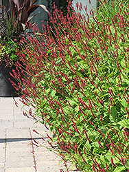 Fire Tail Fleeceflower (Persicaria amplexicaulis 'Fire Tail') at Cole's Florist & Garden Centre