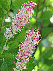 Ruby Spice Summersweet (Clethra alnifolia 'Ruby Spice') at Cole's Florist & Garden Centre