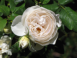 Rose Marie Rose (Rosa 'Rose Marie') at Cole's Florist & Garden Centre