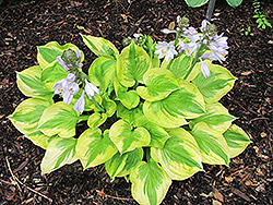 Summer Breeze Hosta (Hosta 'Summer Breeze') at Cole's Florist & Garden Centre