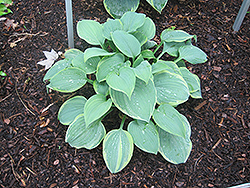 Secret Love Hosta (Hosta 'Secret Love') at Cole's Florist & Garden Centre
