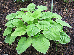 August Moon Hosta (Hosta 'August Moon') at Cole's Florist & Garden Centre