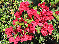 San Diego Red Bougainvillea (Bougainvillea 'San Diego Red') at Cole's Florist & Garden Centre