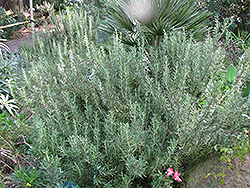 Tuscan Blue Rosemary (Rosmarinus officinalis 'Tuscan Blue') at Cole's Florist & Garden Centre